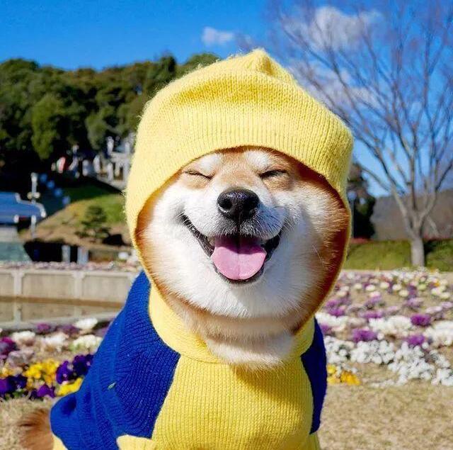 超可爱柴犬头像图片,超火的日本柴犬berry