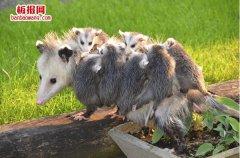 世界上最大的老鼠 负鼠