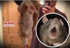英国60厘米长巨大老鼠 或食快餐致变异