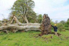 古树被大风吹倒,惊现神秘人骨