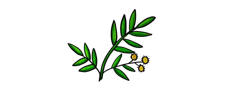 含羞草怎么画
